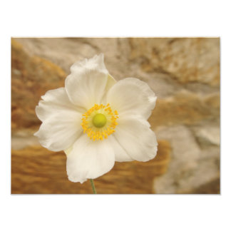 Anemone and Stone Wall Photographic Print