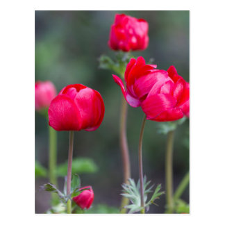 anemone coronaria in the garden postcard