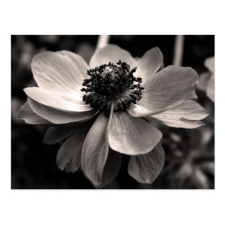 Anemone - Floral Photography - Postcard