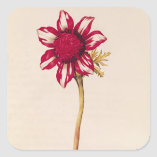 Anemone, from 'La Guirlande de Julie', c.1642 Square Sticker