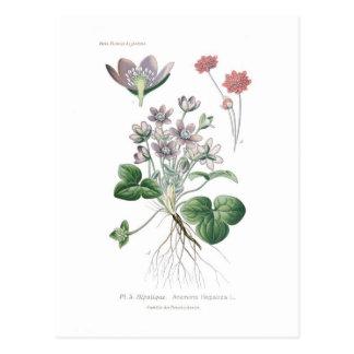 Anemone hepatica postcard