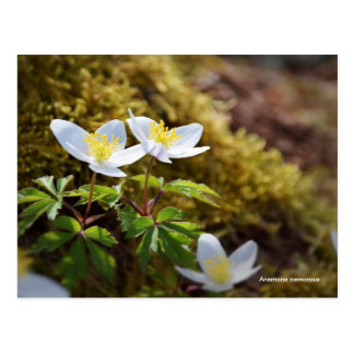 Anemone nemorosa windflower postcard