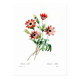 Anemone stellata postcard