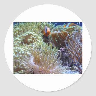 anemone, with peeking clown fish classic round sticker