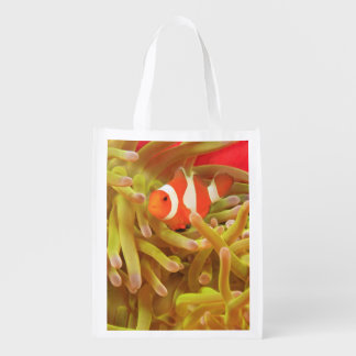 anemonefish on giant indo pacific sea anemone,