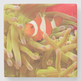 anemonefish on giant indo pacific sea anemone, stone coaster