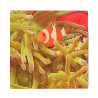 anemonefish on giant indo pacific sea anemone, wood coaster