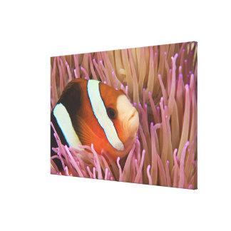 anemonefish, Scuba Diving at Tukang 2 Canvas Print