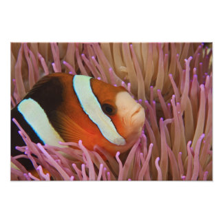 anemonefish, Scuba Diving at Tukang 2 Poster