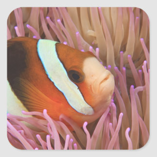 anemonefish, Scuba Diving at Tukang 2 Square Sticker