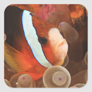 anemonefish, Scuba Diving at Tukang 3 Square Sticker