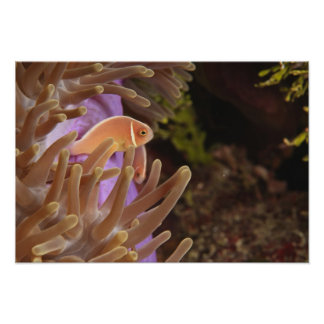 anemonefish, Scuba Diving at Tukang Poster