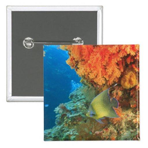 Angelfish swimming near orange soft coral, Bligh Pin