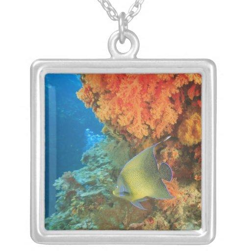 Angelfish swimming near orange soft coral, Bligh Pendants