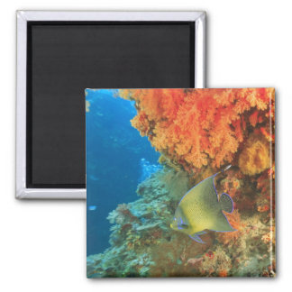 Angelfish swimming near orange soft coral, Bligh Square Magnet