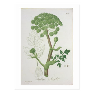 Angelica Archangelica from 'Phytographie Medicale' Postcard