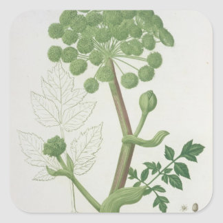 Angelica Archangelica from 'Phytographie Medicale' Square Sticker