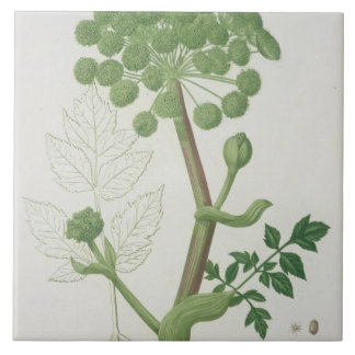 Angelica Archangelica from 'Phytographie Medicale' Tile