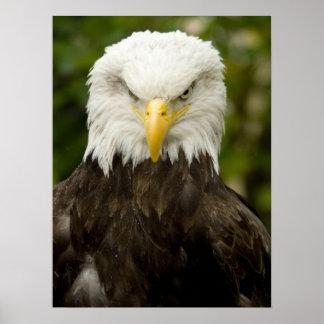 Angry Bald Eagle Poster
