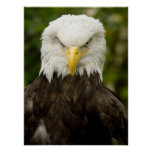 Angry Bald Eagle Posters