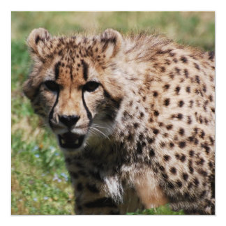 Angry Cheetah Announcements