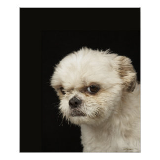 Angry white Shih Tzu with brown eyes Poster
