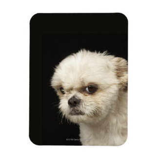 Angry white Shih Tzu with brown eyes Rectangular Photo Magnet