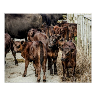 Angus Beef Cattle Calves Poster Print