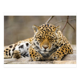 Animal Leopard Pattern Peace Love Nature Destiny Postcard