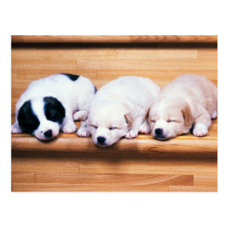Animals, Cute Puppies Postcard