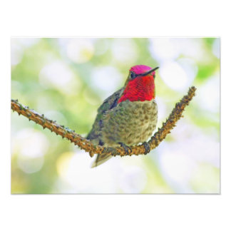 Anna s Hummingbird Photographic Print