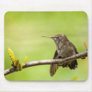 Anna's Hummingbird at rest Mouse Mat