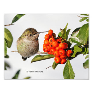 Anna's Hummingbird Poses with the Pyracantha Photograph