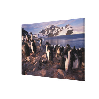 Antarctica, Adelie penguin chicks Canvas Print
