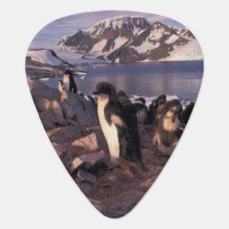 Antarctica, Adelie penguin chicks Plectrum