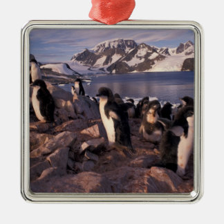 Antarctica, Adelie penguin chicks Silver-Colored Square Decoration