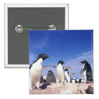 Antarctica, Adelie Penguin Pygoscelis 15 Cm Square Badge