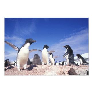 Antarctica, Adelie Penguin Pygoscelis Photo Art