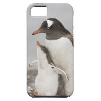 Antarctica, Aitcho Island. Gentoo penguin chick Case For The iPhone 5