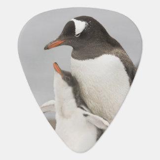 Antarctica, Aitcho Island. Gentoo penguin chick Guitar Pick