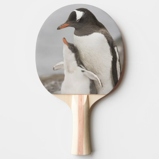Antarctica, Aitcho Island. Gentoo penguin chick Ping-Pong Paddle