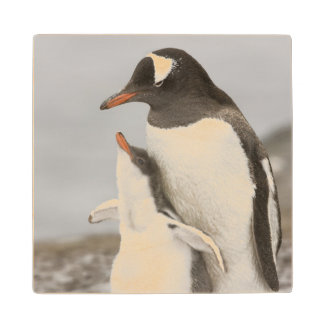 Antarctica, Aitcho Island. Gentoo penguin chick Wood Coaster