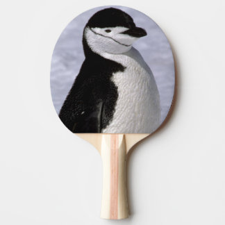 Antarctica. Chinstrap penguin 2 Ping-Pong Paddle