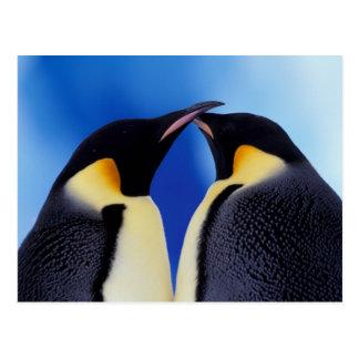 Antarctica, Emperor Penguin (Aptenodytes 2 Postcard