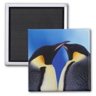Antarctica, Emperor Penguin (Aptenodytes 2 Square Magnet