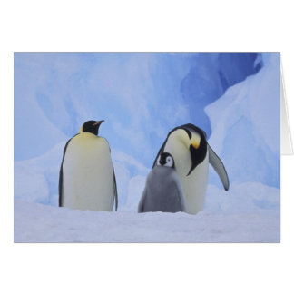 Antarctica. Emperor penguins and chick Card