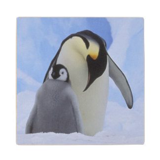 Antarctica. Emperor penguins and chick Wood Coaster