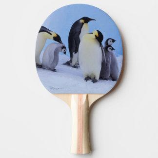 Antarctica, Emporer Penguin ((Aptenodytes Ping Pong Paddle