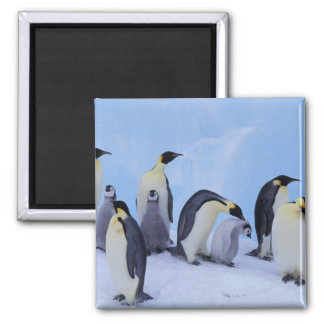 Antarctica, Emporer Penguin ((Aptenodytes Square Magnet