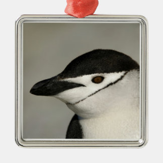 Antarctica, Half Moon Island. Close-up of adult Christmas Ornament